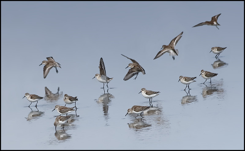 Western Sandpipers - Fourth Beach, Washington