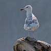 Glaucous-winged Gull - Juvenile