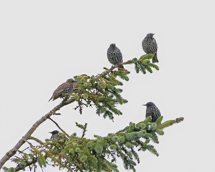 European Starlings, La Push