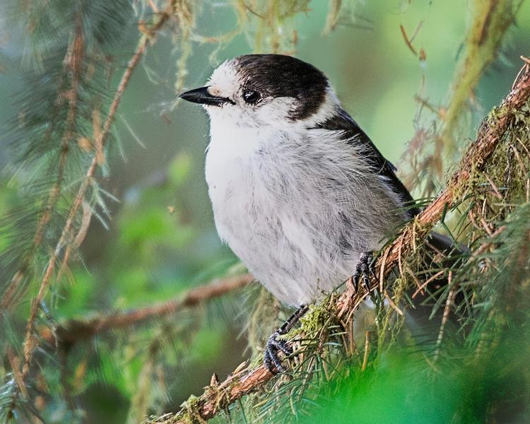 Gray Jay - Hoh Rain Forest-Olympic Natl Park, WA