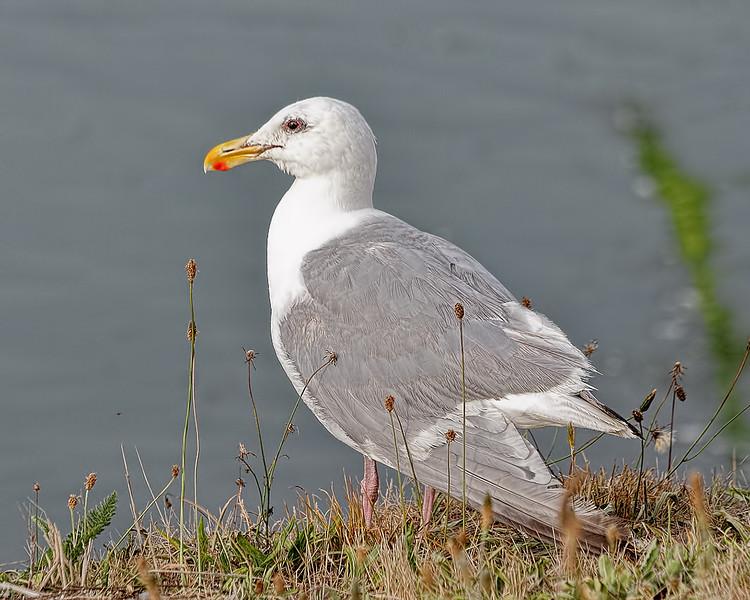 Glaucous-winged Gull - LaPush, Washington