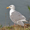 Glaucous-winged Gull - LaPush, Washington