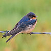 Barn Swallow - Port Angeles, Washington
