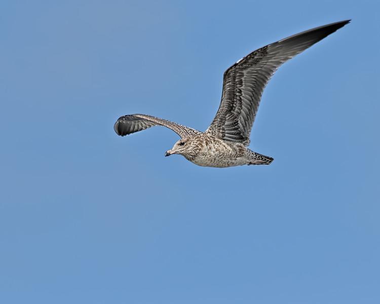 Ring-billed Gull - Juvenile