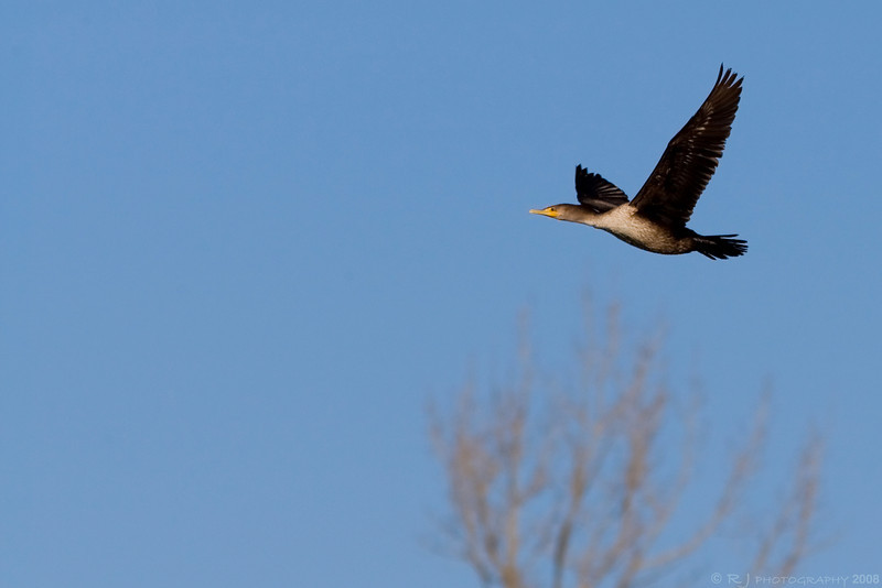 A juvenile double-breasted cormorant flying in the Black Dog preserve in Minneapolis.