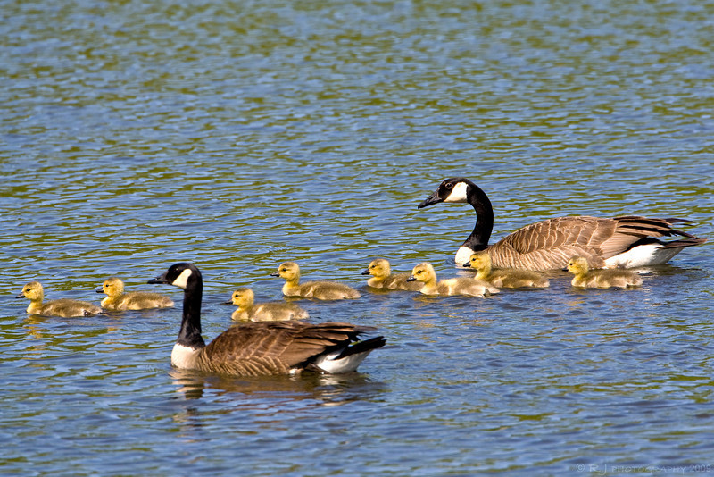 A pair of Canadian geese with a large group of goslings!