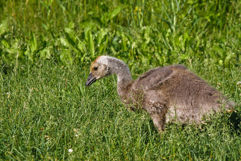 The Canadian goose baby several weeks later.