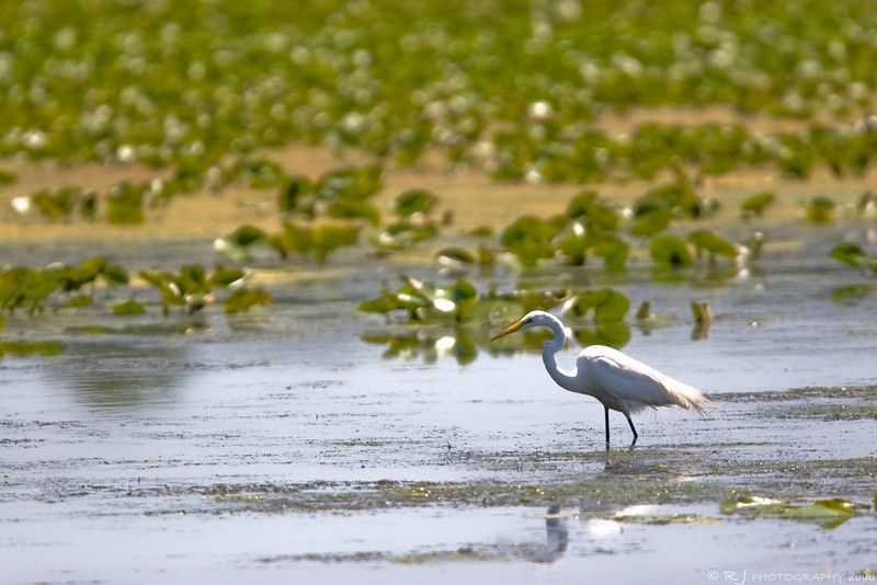 A great egret wades for fish in the floodlands by Bass Ponds preserve in Minneapolis.