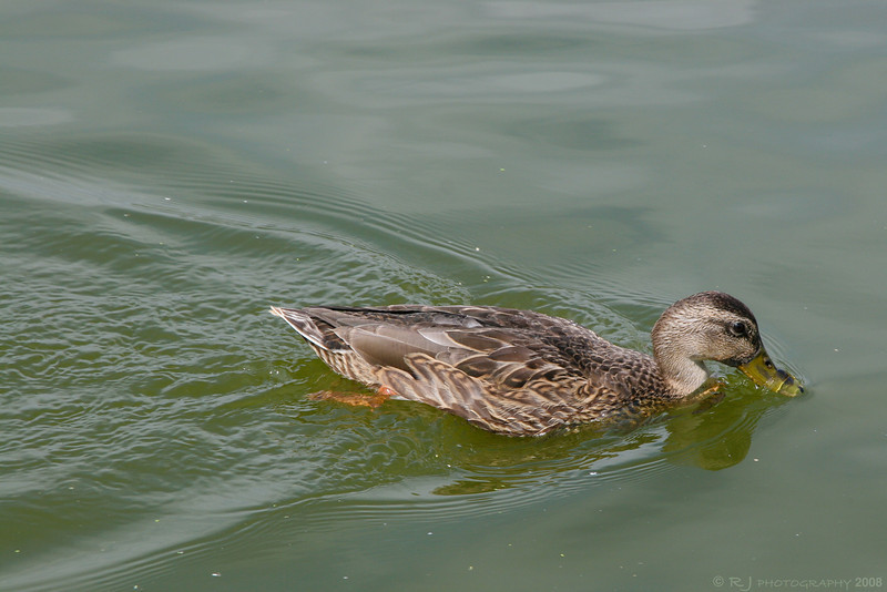 A female mallard swimming in a pond.