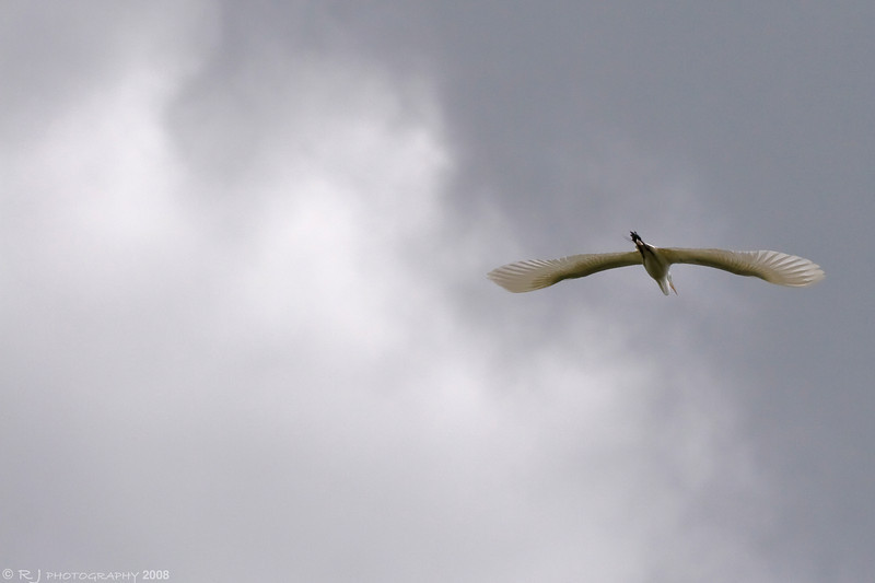 A great egret flying toward the nesting colony by the Bloomington Ferry preserve.