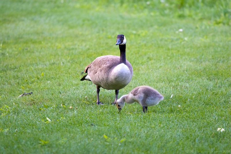 A Canadian goose and baby grazing at Quarry Hills park in Rochester.