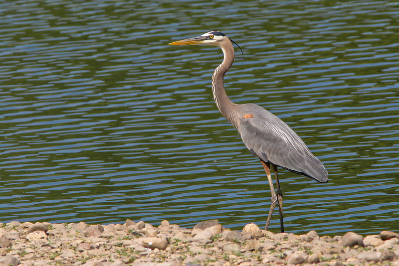 A great blue heron posing at the Bass Ponds preserve in Minneapolis.