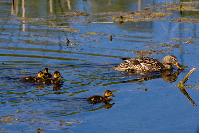 A female mallard duck and her group of ducklings looks for food at Bass Ponds.