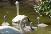 A family of trumpeter swans swims in a pond at the Minnesota Zoo.