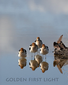 American Avocet, Malheur National Wildlife Refuge Oregon