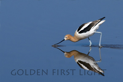 American Avocet, Summer Lake Oreong
