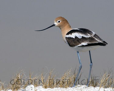 American Avocet, Summer Lake Oregon