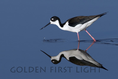 Black-necked Stilt, Summer Lake Oregon