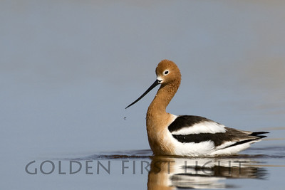 American Avocet, Malheur National Wildlife Refuge