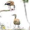black-bellied whistling duck_9262