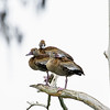 black-bellied whistling duck_9237