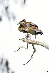 black-bellied whistling duck_9239