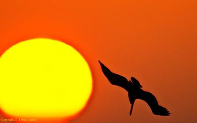 pelican silhouette_2114