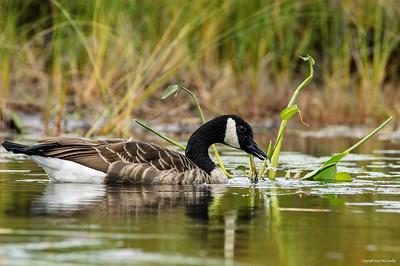 canada goose_120-3