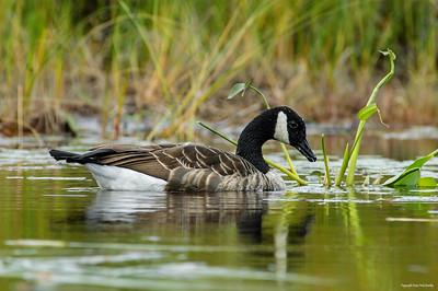 canada goose_121-3