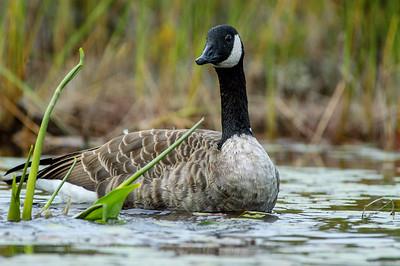 canada goose_128-3