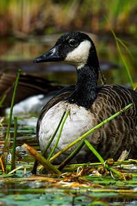canada goose_112-3