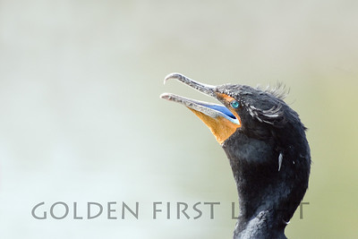 Double-crested Cormorant, Oregon