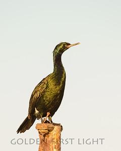 Pelagic Cormorant, Moss Landing California