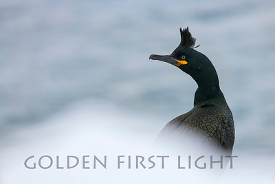 European Shag, Hornoya Island Norway