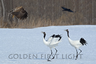 Red-crowned Crane and Black Kite, Japan