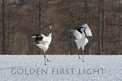Red-crowned Cranes, Japan