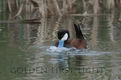 Ruddy Duck, Camas National Wildlife Refuge
