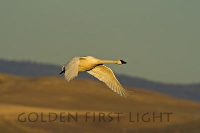 Tundra Swan, Lower Klamath National Wildlife Refuge