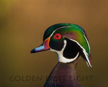 Wood Duck, Oregon