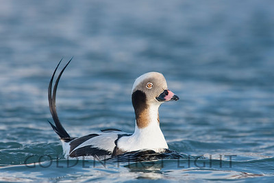 Long-tailed Duck, Batsfjord Norway