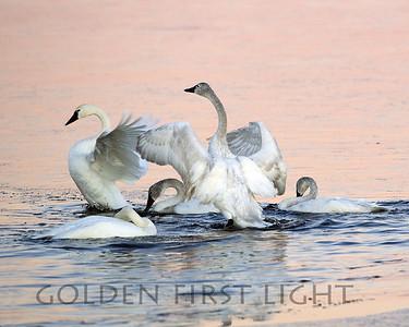 Tundra Swans, Lower Klamath National Wildlife Refuge