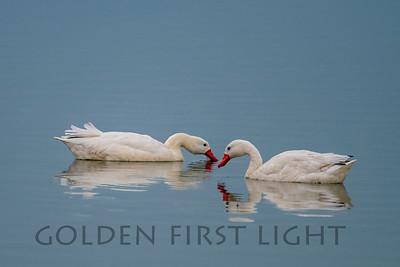 Coscoroba Swan, Laguna Nimez Bird Sanctuary, Argentina