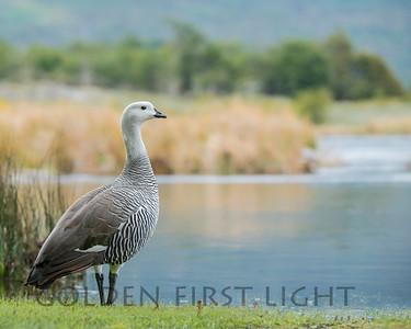 Upland Goose, Tierra del Fuego National Park, Argentina