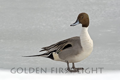 Northern Pintail, Japan