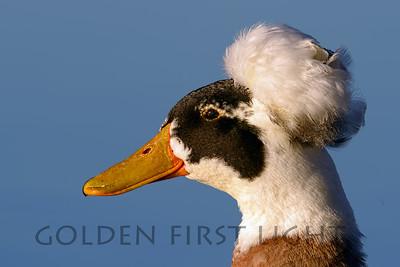 Crested Duck (Domestic) Murray Lake San Diego California