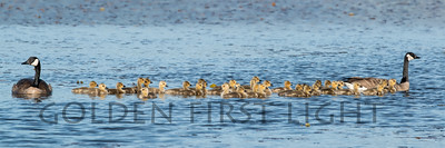 Canada Geese pair with 34 goslings