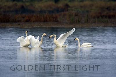 Tundra Swans, Ridgefield National Wildlife Refuge