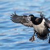 Ring necked Duck on final approach