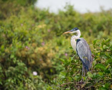 Cocoa Heron, Pantanal Brazil