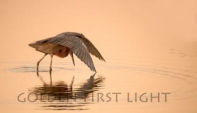 Reddish Egret, Bolsa Chica California